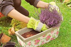 Gardeners hand planting heather flowers in pot Stock Photo
