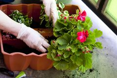 Gardeners hands planting flowers at back yard. 