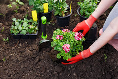Gardeners hands planting flowers in the garden, close up photo.  Stock Photo