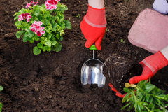 Gardeners hands planting flowers in the garden, close up photo.  Royalty Free Stock Photos