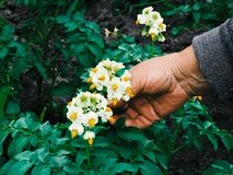 Gardeners hands planting flowers. Hand holding small flower in the garden. Hand holding  potato flowers. royalty free stock photography
