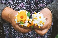 Gardeners hands planting flowers. Hand holding small flower in the garden. Hand holding  potato flowers. stock photos