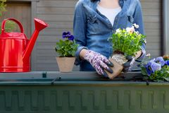 Gardeners hands planting flowers in pot with dirt or soil in container on terrace balcony garden. Gardening concept. In natural light royalty free stock photo
