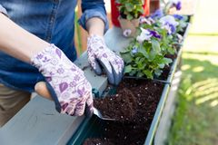 Gardeners hands planting flowers in pot with dirt or soil in container on terrace balcony garden. Gardening concept. In natural light royalty free stock photography