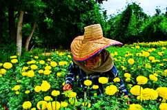 Gardeners keep marigold . Gardeners keep marigold yellow beautiful on the mountains Stock Image
