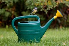 Gardeners little helper. Great tit Parus major sitting on top of a 5 litre plastic watering can Royalty Free Stock Photo