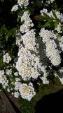 Spirea bush in a garden in Northern England. Gardeners love spirea bushes Spiraea for their eye-catching beauty, fast growth rate, hardiness and ease of care royalty free stock images