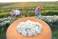 Gardeners picking up chrysanthemum flowers in the evening, Thailand royalty free stock images