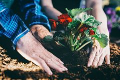 Gardeners planting red flowe on the soil. Hands close-up Stock Images