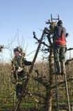Gardeners prune willow trees, Netherlands Stock Image