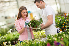 Gardeners tending a plant in hothouse Stock Image