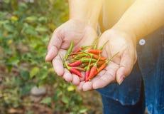 Gardeners were picking chili . Stock Image