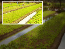 Gardeners is working in Planting lettuce with a ditches Royalty Free Stock Photos