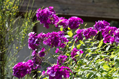 Gardenflowers Στοκ φωτογραφία με δικαίωμα ελεύθερης χρήσης