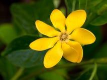 Gardeni carinata Wallich kwiat Zdjęcia Royalty Free