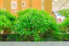 Gardenia σε ένα δοχείο κονιάματος Στοκ Εικόνα