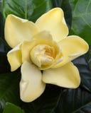 gardenia сада цветков цветка Стоковые Изображения