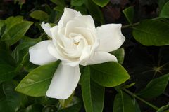 Gardenia Fotos de Stock Royalty Free