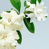 Gardenia imagen de archivo libre de regalías