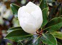 gardenia obrazy stock