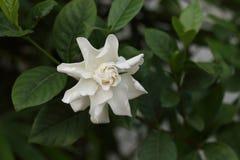 gardenia Stockbild