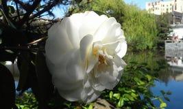 gardenia Royaltyfri Bild