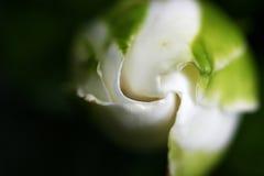 Gardenia Photos stock