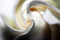 Gardenia Imagem de Stock
