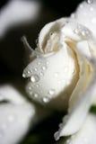 Gardenia fotografie stock libere da diritti