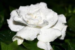 Gardenia immagine stock