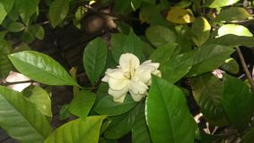 gardenia Foto de Stock Royalty Free