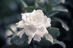 gardenia Στοκ φωτογραφία με δικαίωμα ελεύθερης χρήσης