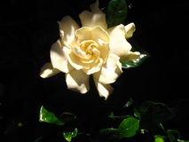 Gardenia. Focus on the top of the Gardenia bloom where the sun is shining stock photo