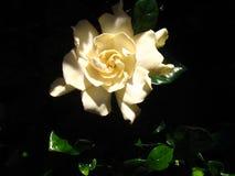 Gardenia Fotografia Stock