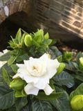 gardenia Photographie stock