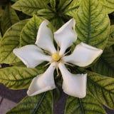 gardenia Fotografía de archivo libre de regalías