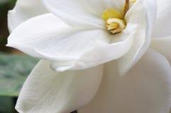 Gardenia Stockfoto