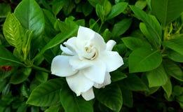 Gardenia Augusta flower Stock Image