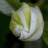Gardenia 1 Stock Image