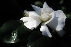 Gardenia bianca Fotografie Stock Libere da Diritti