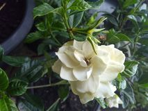 Gardenia bianca con le foglie brillanti verdi Fotografia Stock