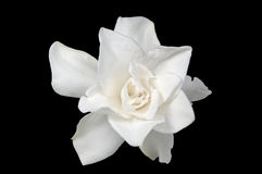 Gardenia blanca Fotos de archivo libres de regalías