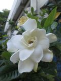 Gardenia blanca en la primavera del Brasil Imagen de archivo