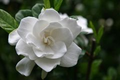 Gardenia Bloom. On Evergreen Shrub stock photography