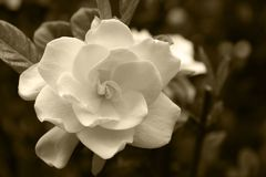 Gardenia Bloom. In a Sepia Tone Stock Photos