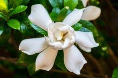 Gardenia Bloom Straight On Fotografering för Bildbyråer
