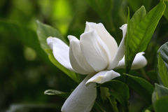 Gardenia Bloom. White gardenia blooming in the spring Royalty Free Stock Photo