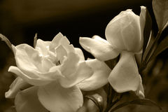 Gardenia Blooms. In a Sepia Tone royalty free stock photo