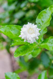 Gardenia Bush. Taken in Florida royalty free stock photos