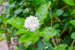 Gardenia Bush. Taken in Florida stock image